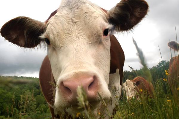 szarvasmarhák elleni készítmények