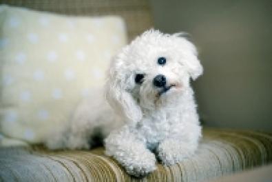 Hiszem, ha látom! Puppy, a bolognese.