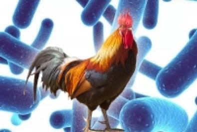 Probiotikum és antibiotikum együttes alkalmazása a baromfi takarmányozásban? Lehetséges!