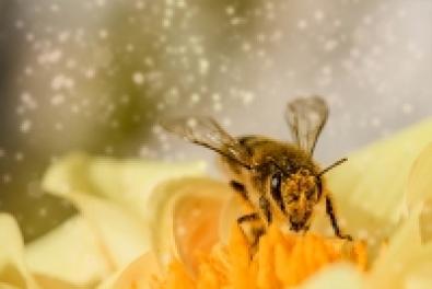 Kifejlesztették az első vakcinát, ami megmentheti a méheket a pusztulástól